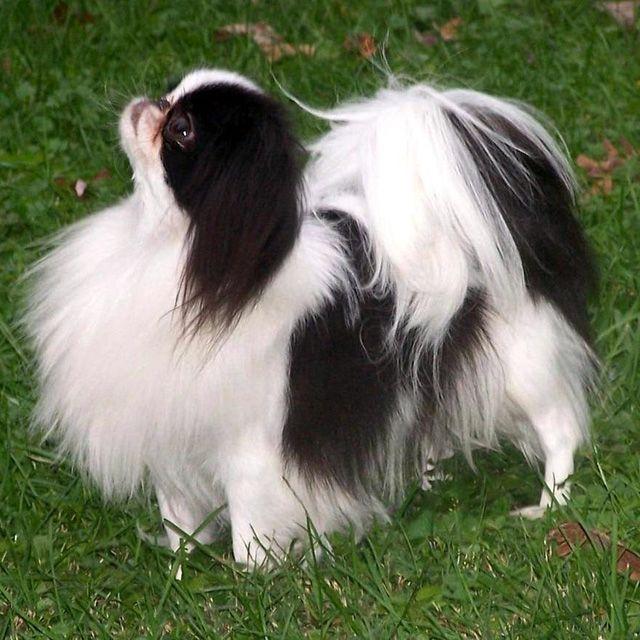 Япоский хин, японское сокровище – декоративная порода, история породы японский хин, описание породы, темперамент. Фото собак породы японский хин.