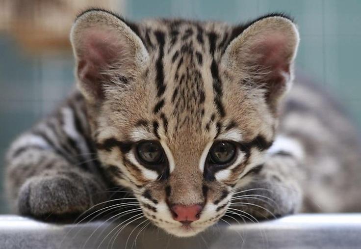 Filhote de Jaguatirica: Wild Cat, Big Cat, Amazing Cat, Animal Stuff, Cat Eye, Beautiful Ocelot, Animal Track, Baby Ocelot, Amazing Animal