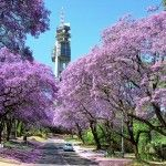 """Pretoria is famous for many things, most notably its status as the executive and de facto national capital of South Africa and for its unique collection of jacaranda trees that litter the streets with lilac blooms, hence the nickname, """"Jacaranda City."""""""