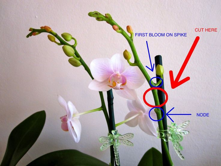 So you have a beautiful Phalaenopsis orchid, but its blooms are starting to wilt and fall off. What do you do now?! First of all, don't freak out and throw your plant in the garbage; fading f…