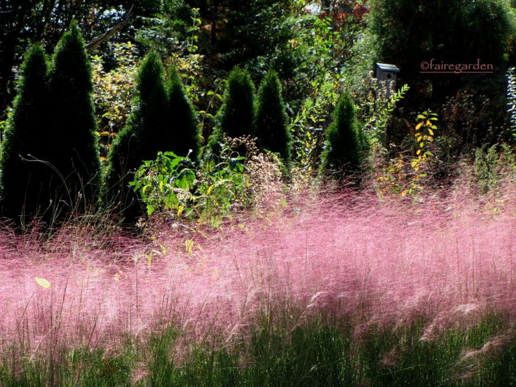 22 best images about ornamental grasses in the garden on for Short variegated grass