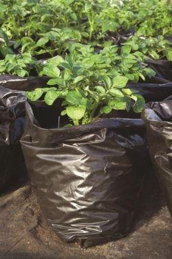 growing potatoes nz