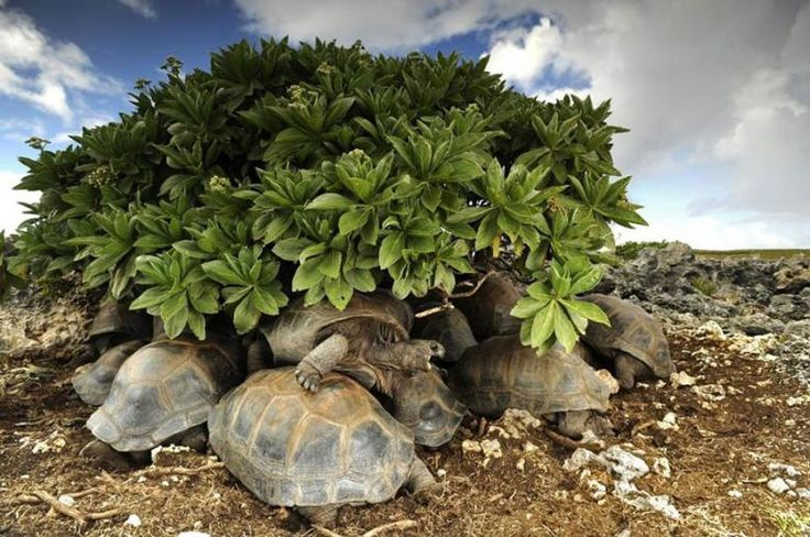 Güneşten korunmaya çalışan kaplumbağalar
