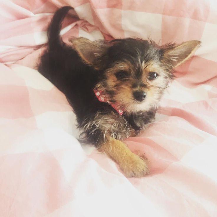 Just having a lazy Sunday morning #chorkiesofinstagram #dogsofinstagram #doggie #chorkielove #chihuahuasofinstagram #yorkiesofinstagram #