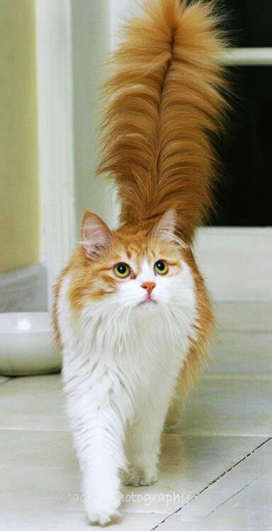 Beautiful red and white cat