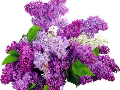 Sanatate cu flori si frunze de liliac