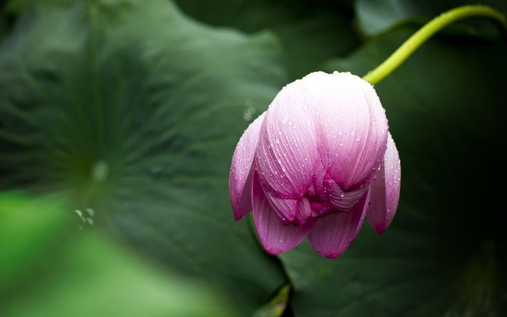 #bloom #blossom #flora #flower #hd wallpaper #lotus #nature #pink