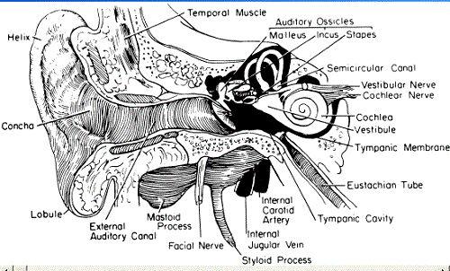 External Ear Anatomy Diagram