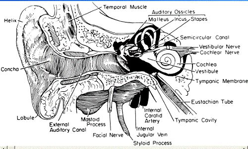 External Ear Anatomy Diagram
