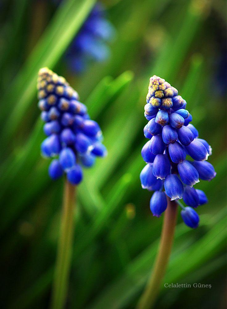 Blue Bells , Muscari (Arap Sümbülü) by Celalettin Güneş on 500px