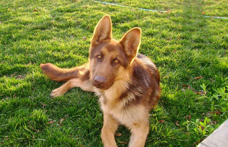 liver-colored german shepherd. so pretty! | Dog Breeds I ...