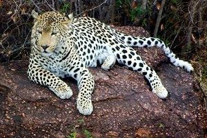 SHAYAMANZI Leopards Zoy and his girlfriends (Part 2 of 3) - February 2014 Wildland Article