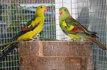 Kultaloistokaijat ovat kauniita lintuja.