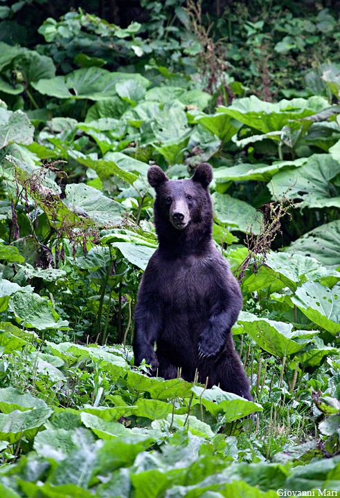 Carpathian Brown Bear, Piatra Craiului NP - Romania by Giovanni Mari