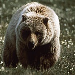 Yellowstone bear!  I love these guys!: Nature National Parks, Yellowstone Park, Favorite Places Travel, National Parks Gods, Yellowstone Bear, Grizzly Bears, Yellowstone National Parks