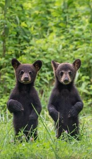 Two bear cubs stand to attention in Great Smoky Mountains National Park, Tennessee. Image by W. Drew Senter, Longleaf/Moment/Getty Images