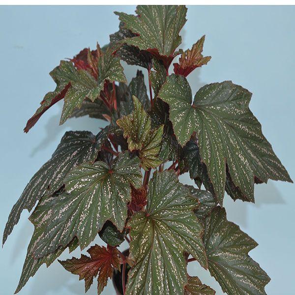 Begonia Bobbie Price Steve S Leaves In 2020 Begonia Botanical Gardens Watering