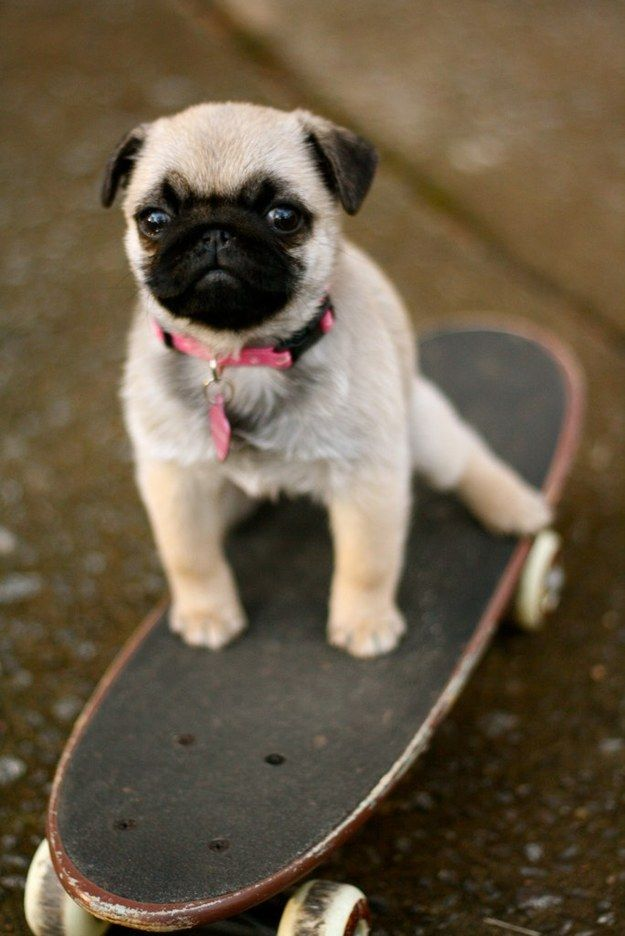 Must see Pug Canine Adorable Dog - 7a509a3ee7b7180b613344ab74ef9ecd--skate-board-skateboarding  Snapshot_966056  .jpg