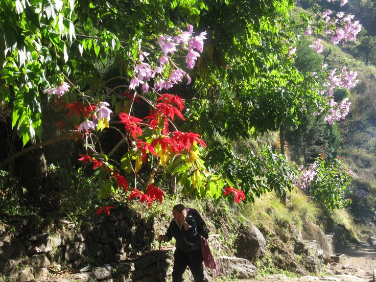 Best images about alpine flora of the nepal himalayas