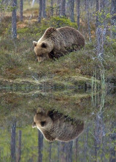 A bear gazes into a moonlit lake, seemingly transfixed by its own reflection. London based photographer Sylwia Domaradska was hidden just yards away as the brown bear crept past in the wilds of Kainuu, eastern FinlandPicture: Sylwia Domaradzka / Barcroft Media