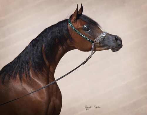 "Arabian Horses by River Valley Arabians - Arabian Horses for sale, Stallions, Mares, Foals, Breeder, Horse Farm ""Aryelle El Thessa"""
