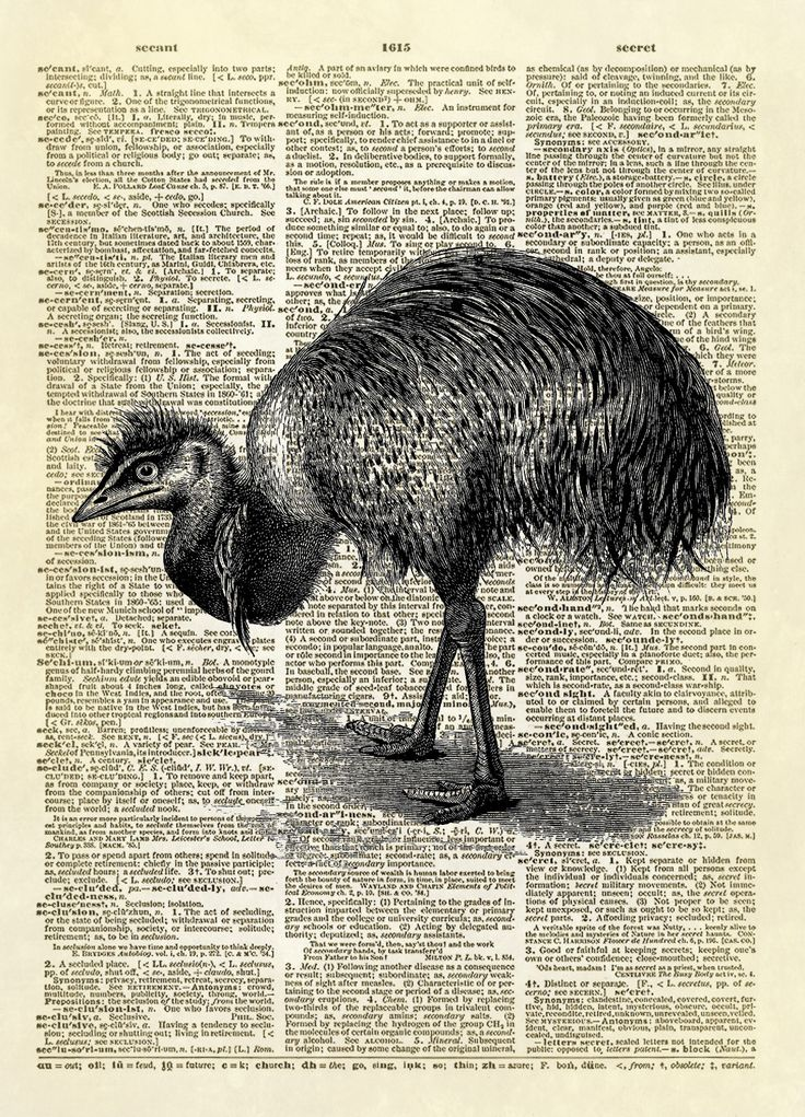 """This print features an antique illustration of an Australian Emu. The image is from the 1900 publication """"Birds"""" by A.H. Evans. An Emeu """"Dromaeus novae-hollandiae, of the interior Eastern Australia, w"""