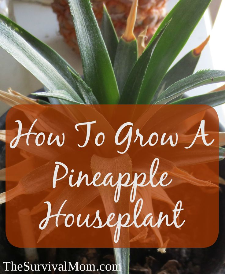 Grow a beautiful houseplant from a pineapple! Follow these step by step instructions to grow a pineapple houseplant.