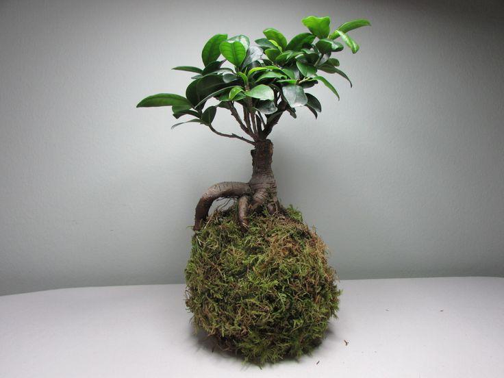 kokedama+Ficus+Ginseng+kokedama+pochází+jako+bonsaje+z+Japonska,+znamená+to+v+překladu+mechová+koule.+Jde+o+speciální+pěstování+pokojových+květin+v+závěsu+nebo+na+mističkách.+Podrobné+informace+o+kokedamě+najdete+v+mém+profilu.+vel.+balu+cca+8-14+cm,+součástí+je+návod+na+pěstování,+háček+a+provázek+pro+případné+omotání,+nebo+na+přání+mohu+omotat+cena+je+bez...