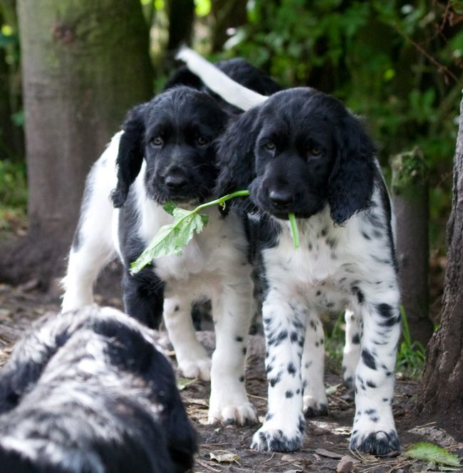this will be my puppy one day! large munsterlander