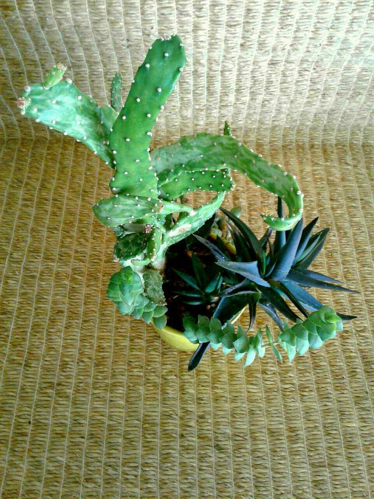 """Succulent garden (aloe, opuntia cactus, crassula, sedeveria, gasteria) in a 5"""" chartreuse ceramic planter without drain hole. For sale from a one-person online plant nursery in Phoenix, AZ. Local meetup by appointment, or delivery may be possible for sizable orders."""