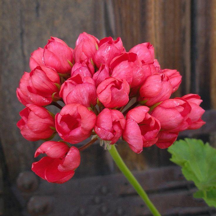Где купить цветы герани тюльпановидной, заказать спб опт