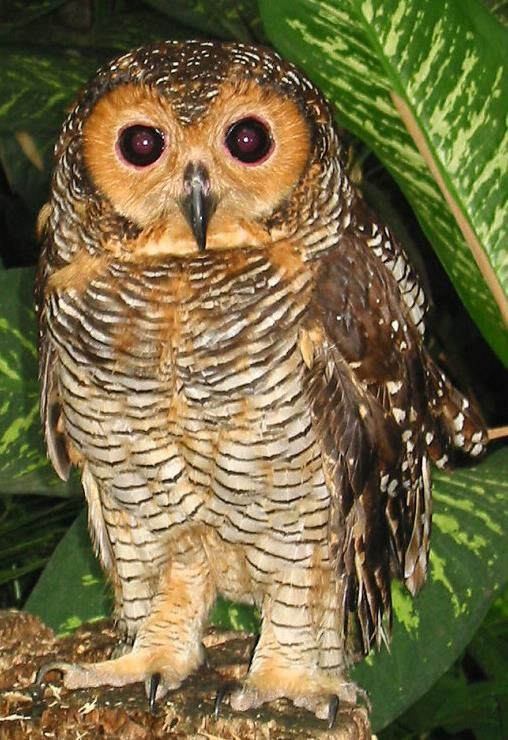 Spotted Wood Owl 2