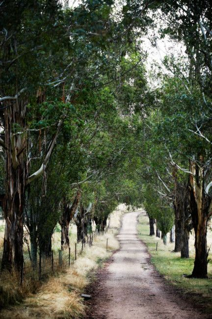 Gum trees (Eucalyptus viminalis), planted in the 1980's, line the drive.