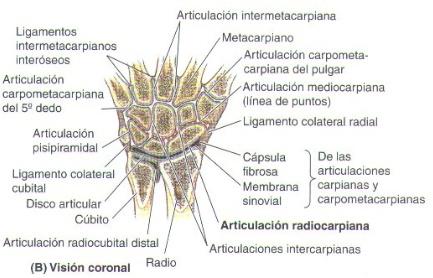 Pin en Muñeca y mano. Anatomia, articulaciones y músculos.