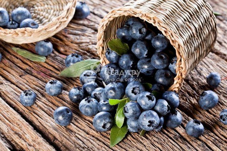 Черника полезные свойства и противопоказания, польза листьев и ягод черники. Как полезные свойства сохраняет замороженная черника, лечебные качества