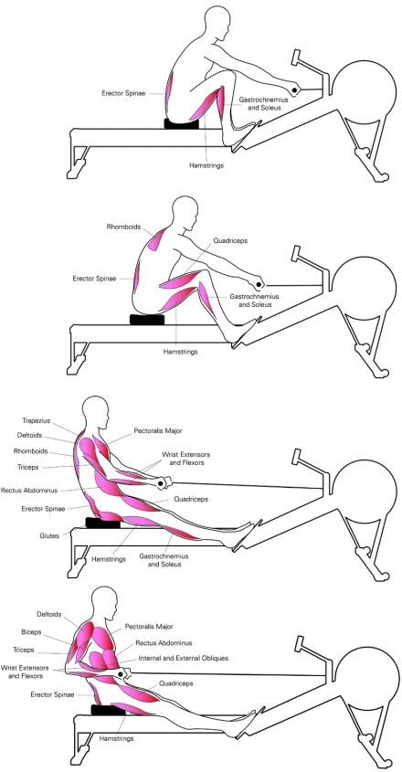 active muscles at workout on rowing machine