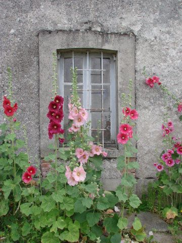 Hollyhocks   ..    Image found on www.wandelen-in-frankrijk.net
