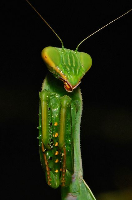 37 best images about Mantises and Stick Insects on ...