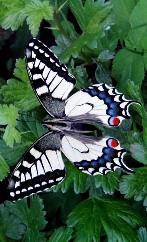Intriguing butterfly - it looks like a piano keyboard!