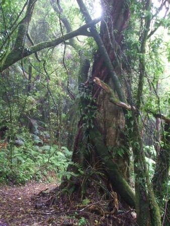 Mount Ngongotaha walks, Rotorua, NZ - Vines criss-cross the tracks
