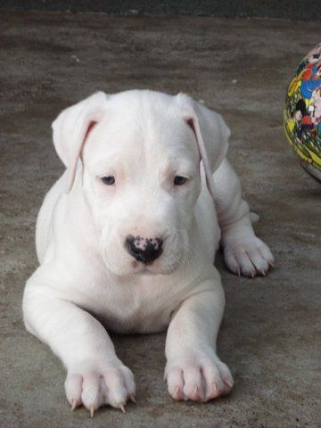 Argentine Mastiff Puppy Is going to be my next pup. Then I'll have an Italian and Hispanic Mastiff.