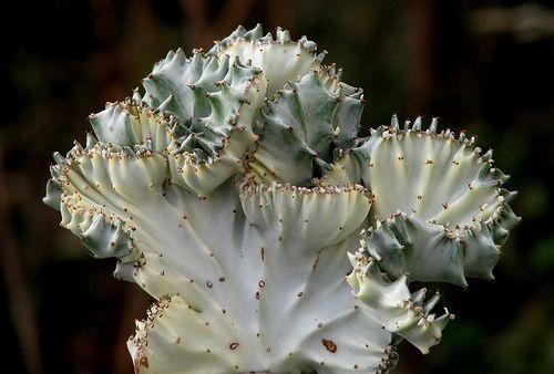 Euphorbia Lactea Cristata | Pinterest | Cacti, Plants and Gardens