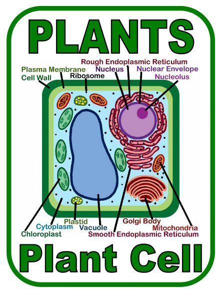 The 25 Best Plant Cell Labeled Ideas On Pinterest