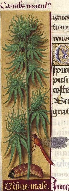 Chanvre mâle - Canabs ma[s]culus (Cannabis sativa L. = chanvre avec grappes de fleurs femelles) -- Grandes Heures d'Anne de Bretagne, BNF, Ms Latin 9474, 1503-1508, f°90v