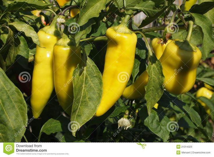 Some paprikas in a garden