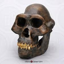Australopithecus afarensis es un homínido extinto de la subtribu Hominina que vivió entre los 3,9 y 3 millones de años antes del presente. Era de contextura delgada y grácil, y se cree que habitó solo en África del este (Etiopía, Tanzania y Kenia). La mayoría de la comunidad científica aceptó que puede ser uno de los ancestros del género Homo.