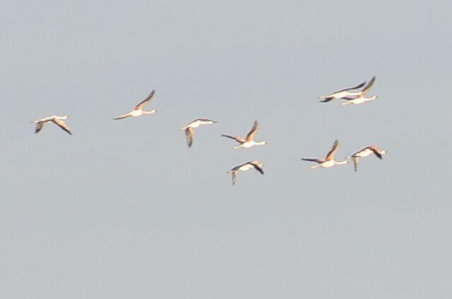 Flamingo's flight