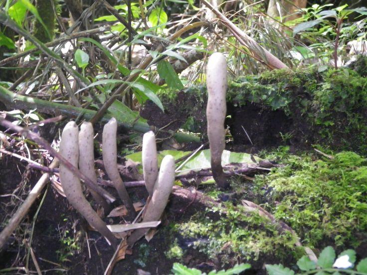 dedos de muerto, hongo del bosque lluvioso de Costa Rica