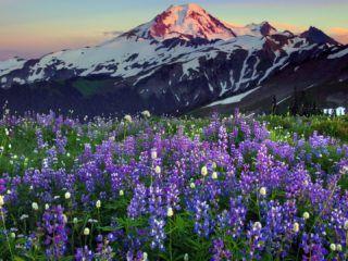 fialové květiny a zasněžené hory