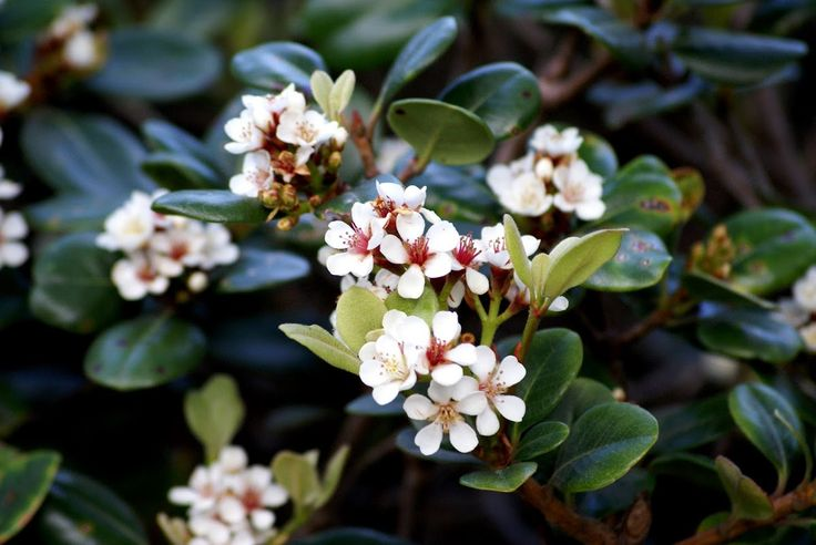 Snow white indian hawthorne rhaphiolepis indica front for Hardy plants for the garden